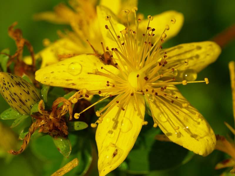 fiori-di-montagna-erba-di-san-giovanni